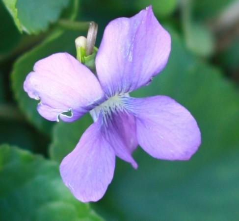 violetforngcsite.jpg